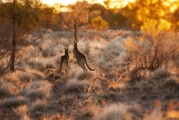 IMG-125.Mutawintji NP.NSW.kangaroos